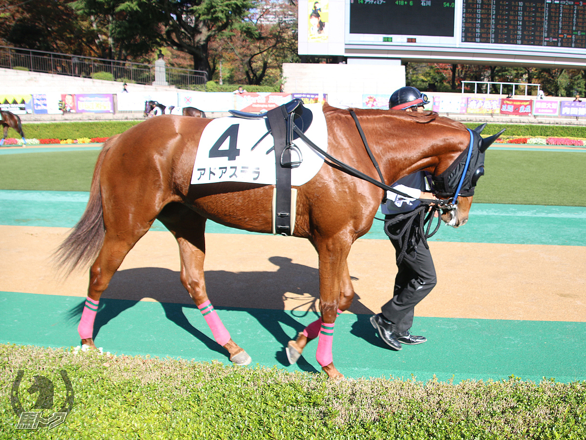 アドアステラの馬体写真