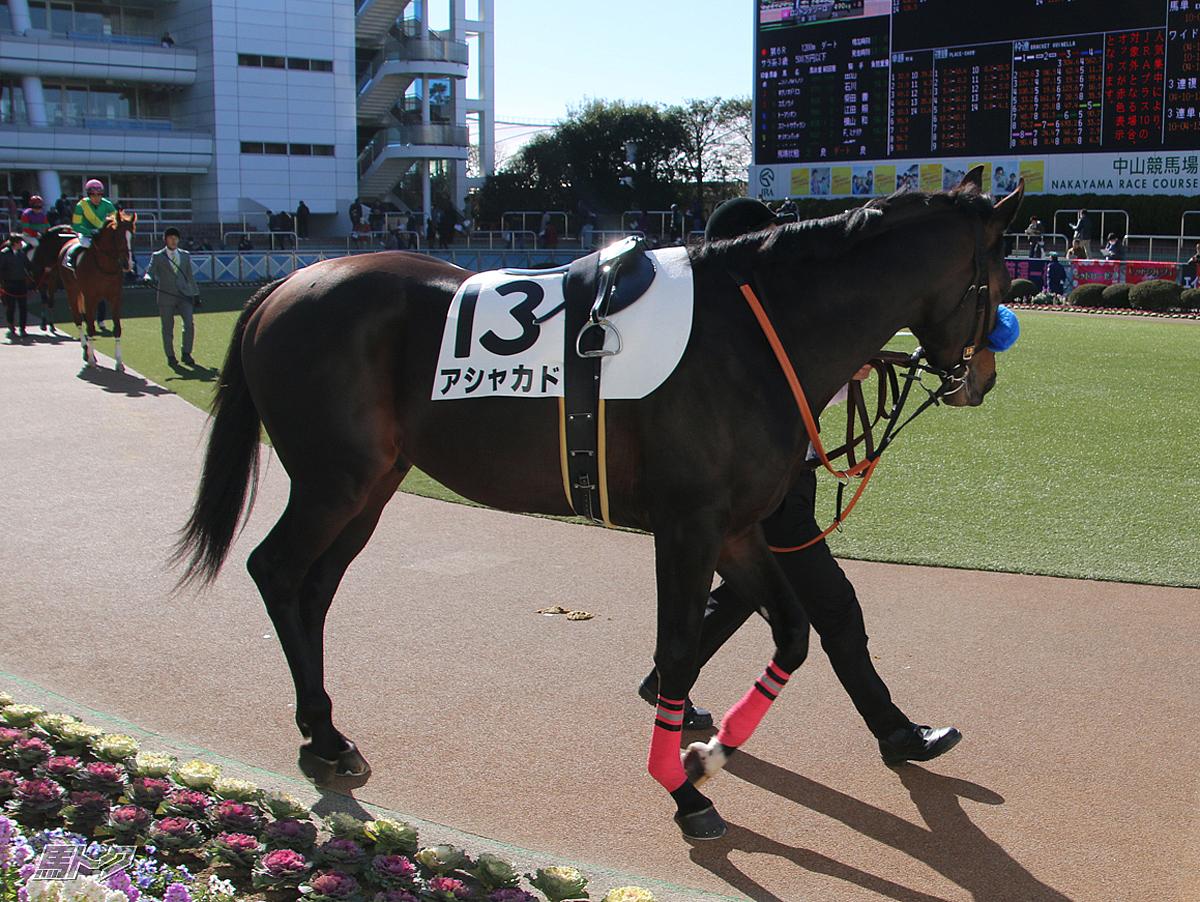 アシャカドの馬体写真