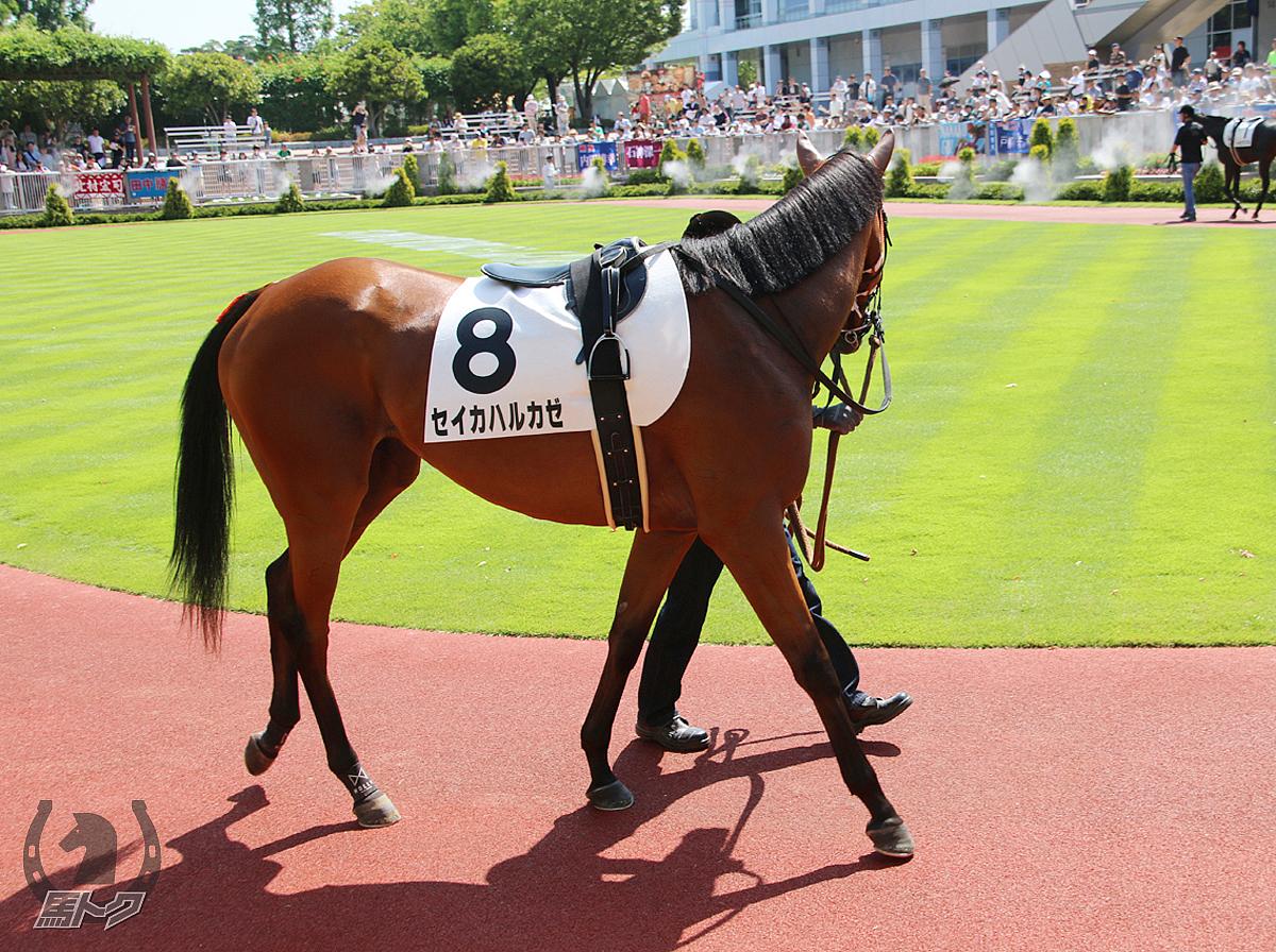 セイカハルカゼの馬体写真