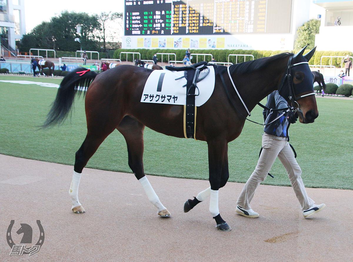 アサクサマヤの馬体写真