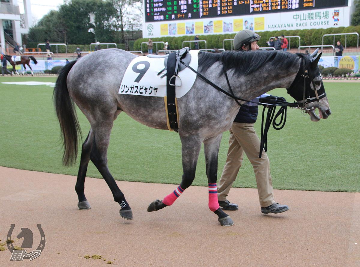 リンガスビャクヤの馬体写真