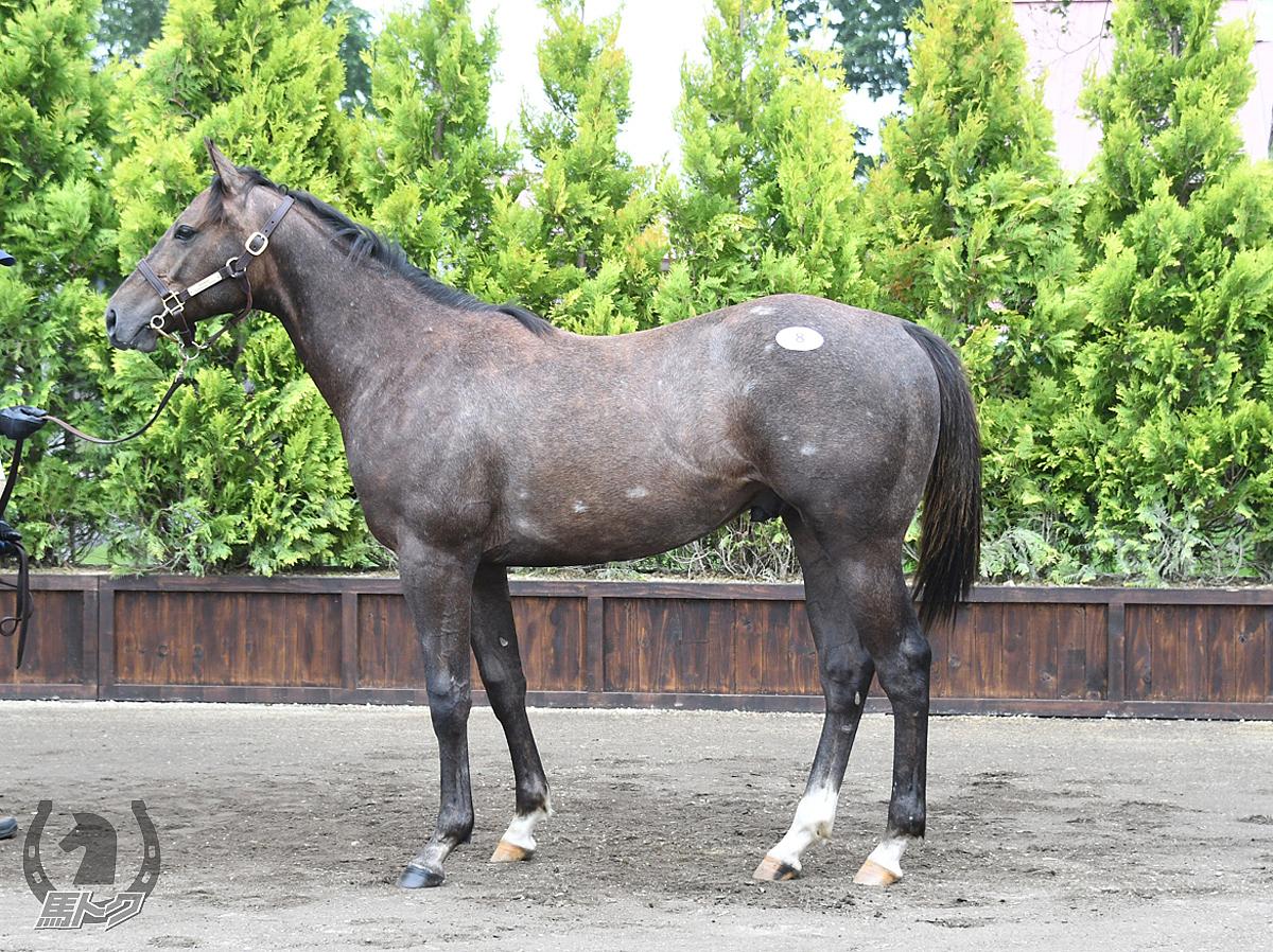 トランペットシェルの馬体写真